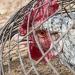 Coq en cage
