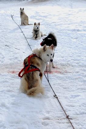 Ligne canine